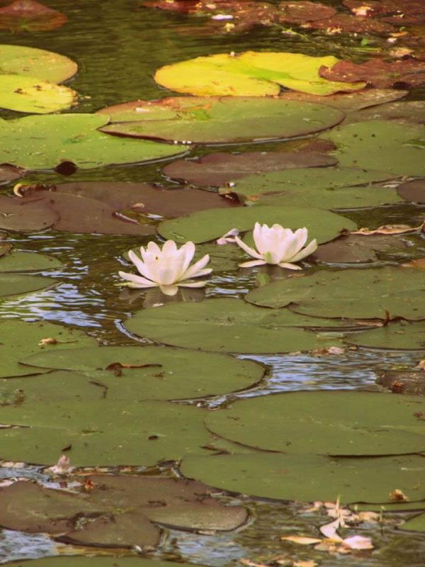 Monet's Garden, The Water Lily Pond (2)